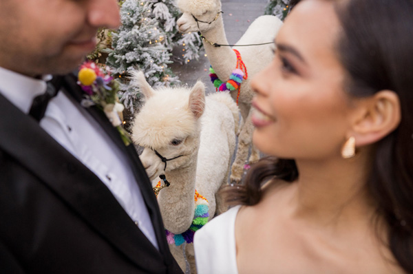 bride and groom in the foreground looking at each other with alpaca in between in the background